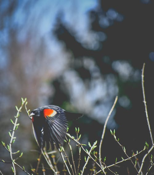 Red winged blackbird flying above dry twigs in forest