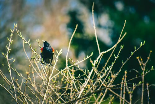 Red winged blackbird resting on thin twigs in summer