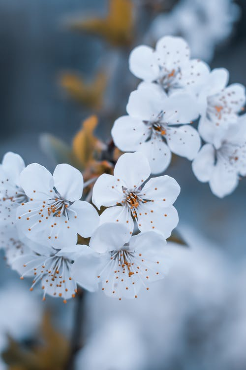 Cherry blossoms growing on thin stem in garden