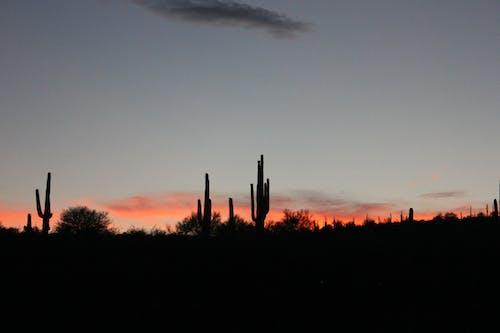 Free stock photo of arizona, cacti, cactus