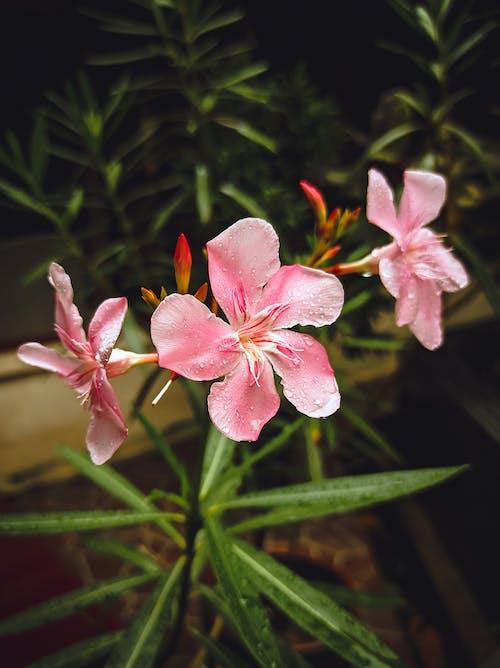 Blooming Oleander growing in green garden