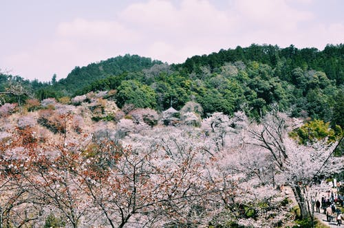 Picturesque drone view of blooming trees growing in park surrounded green forest located on hills and people walking in park on sunny day