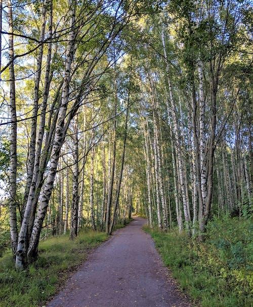 Free stock photo of birch tree, environment, finland
