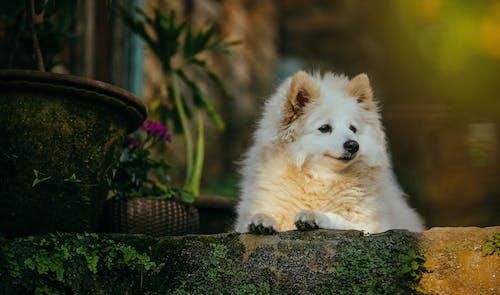 Základová fotografie zdarma na téma bílý pes, čistokrevný, dívání