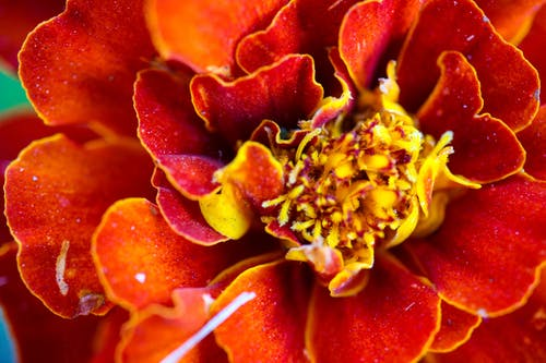 Red and Yellow Flower in Macro Photography