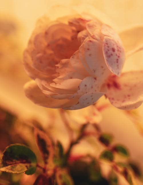 White and Pink Flower in Tilt Shift Lens