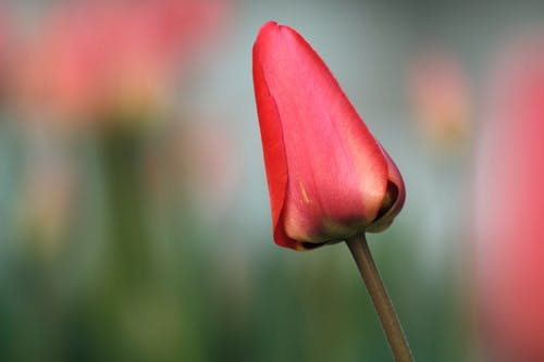 Red Tulip in Bloom