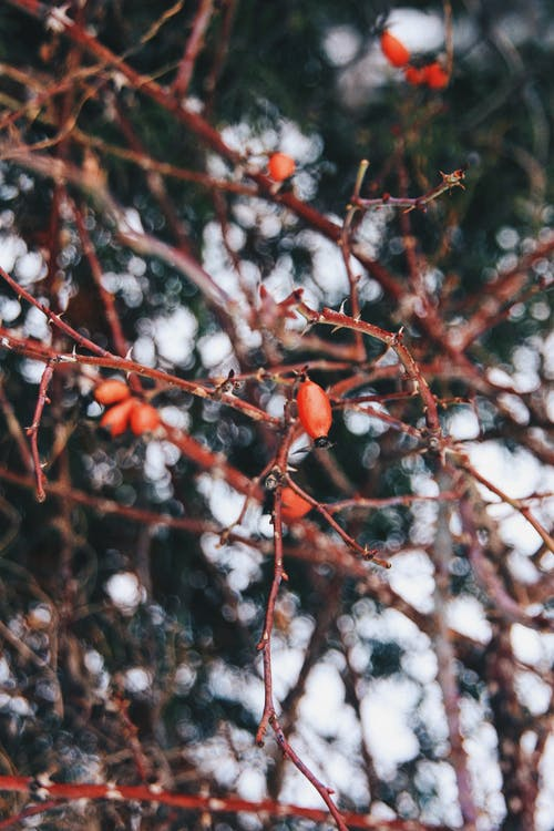 Red Oval Fruit on Tree Branch