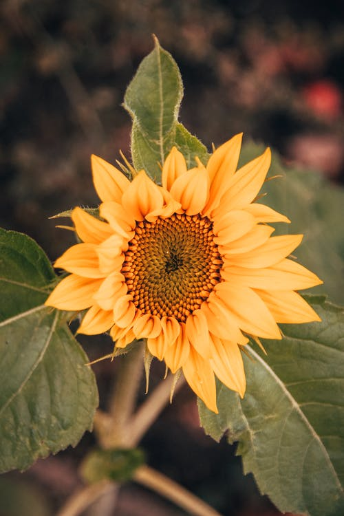 Blooming sunflower with green foliage