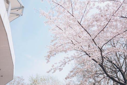Free stock photo of beautiful flowers, hongkou, natural spring