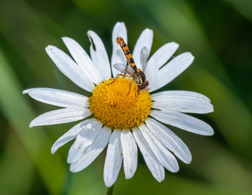 Dragonfly on White Daisy in Close Up Photography