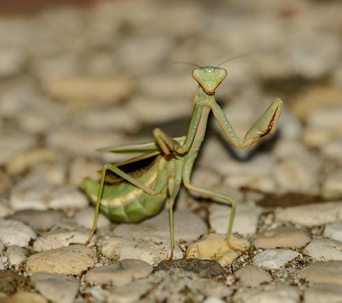 Green Praying Mantis on Rocks