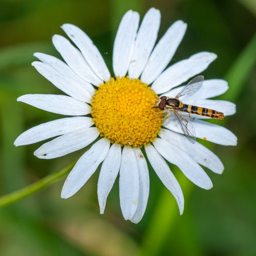 Yellow and Black Insect on White Daisy in Close Up Photography