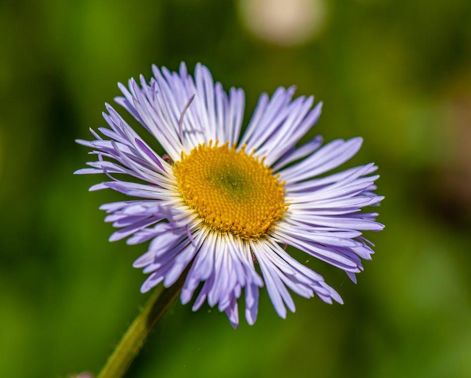 Single aster flower in sunshine