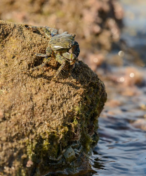 Crab on Brown Rock