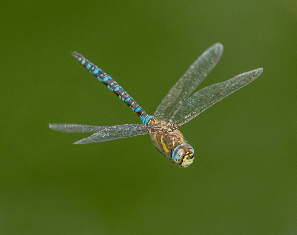 Closeup of brightly colored dragonfly with transparent wings in flight on blurred green background