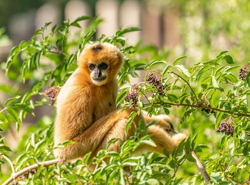 Single monkey in lush branches