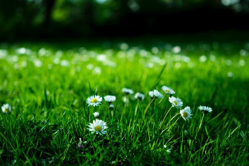 White Daisy on Grass Field