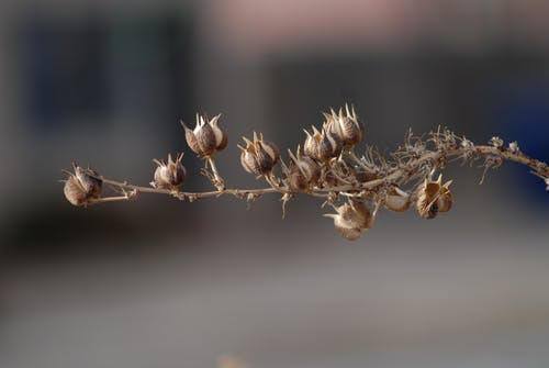 Dried tree branch with blossoming buds