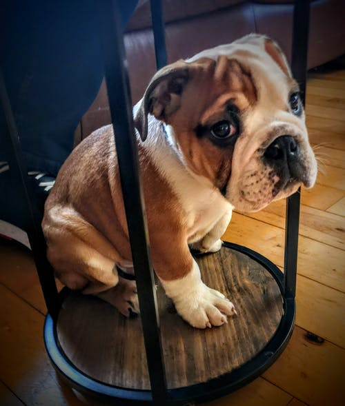 Free stock photo of British Bulldog