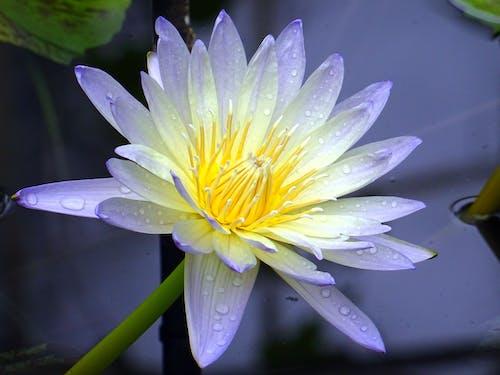 คลังภาพถ่ายฟรี ของ กลีบดอก, กำลังบาน, ต้นไม้, น้ำค้าง