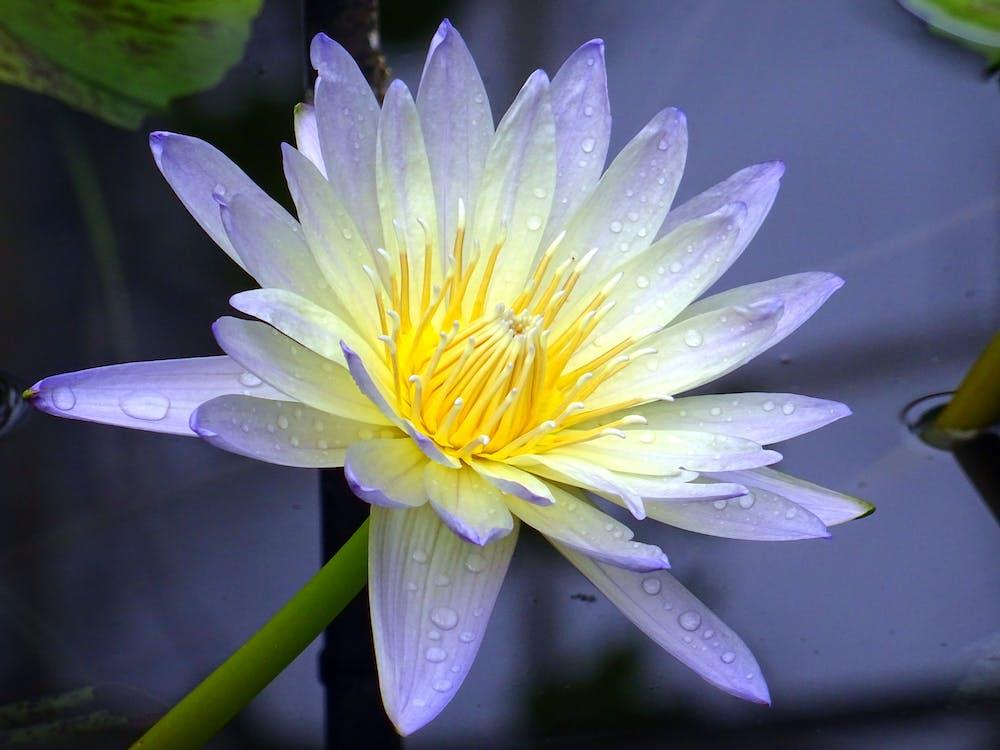 flóra, krásný, kvést