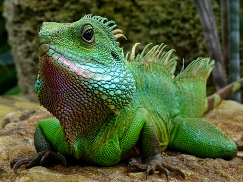 Closeup Photography of Green Iguana
