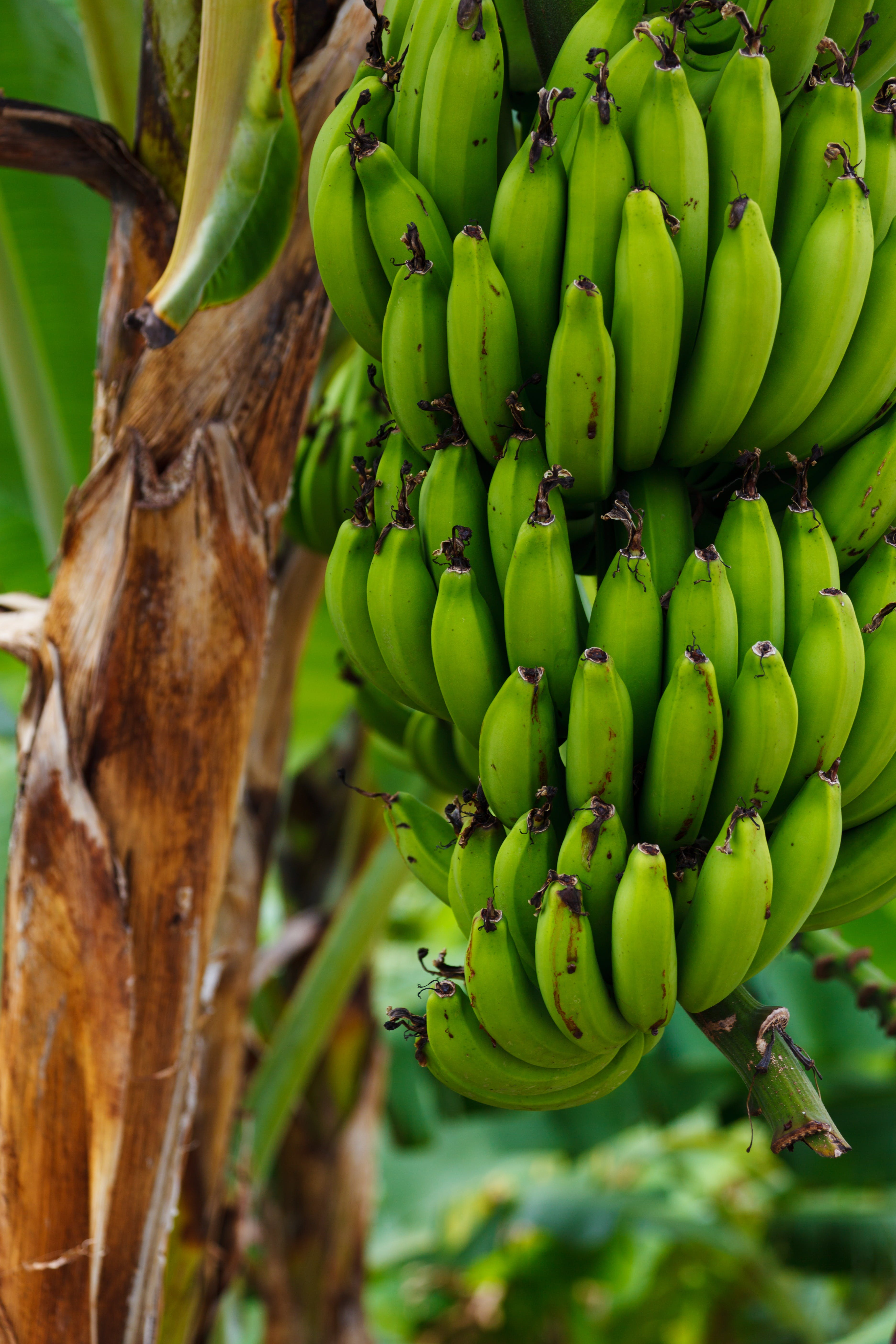 Unripe Banana on Banana Tree