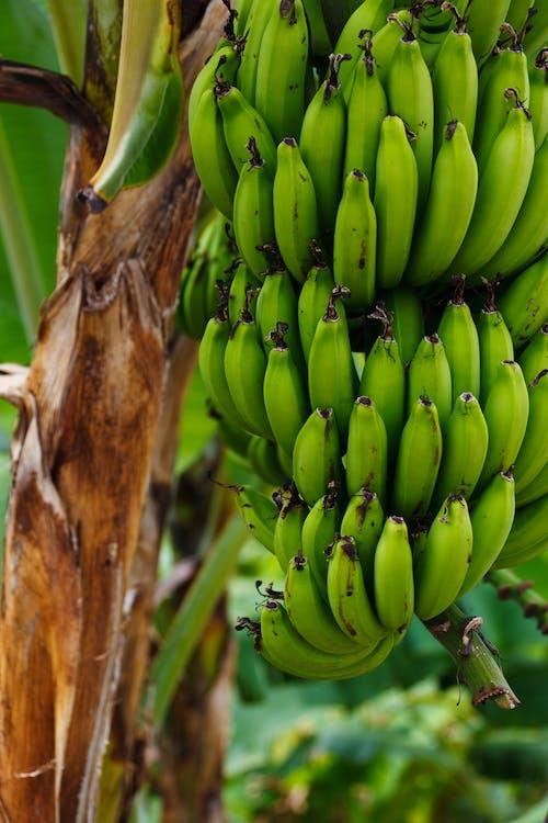 Gratis arkivbilde med bananer, banantre, frukt, makro