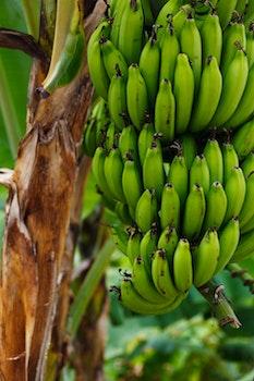 Unripe Banana on Banana Tree