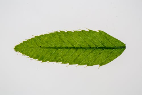 Green leaf of Castanea crenata Asian tree