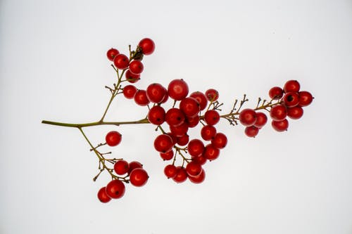 Top view of thin branch of healthy guelder rose flowering plant with ripe red berries against white background