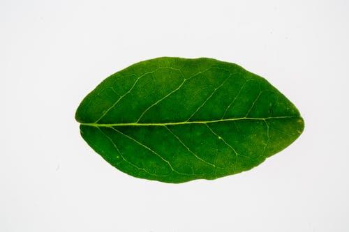 Gratis stockfoto met ader, alleen, biologisch, blad