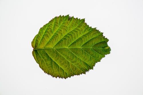 Immagine gratuita di albero, alnus incana, ambiente, autunno