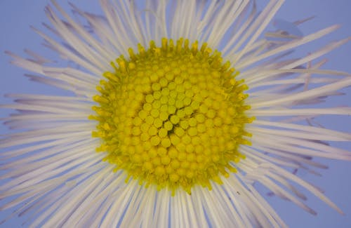 Closeup of amazing gentle blue spring daisy flower with thin white petals and yellow pestle against blue background