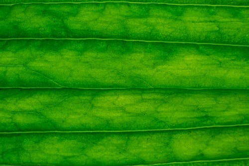Top view of bright green fresh leaf texture with striped pattern as abstract background