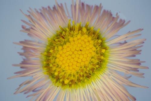Tender Erigeron pulchellus flower against blue background