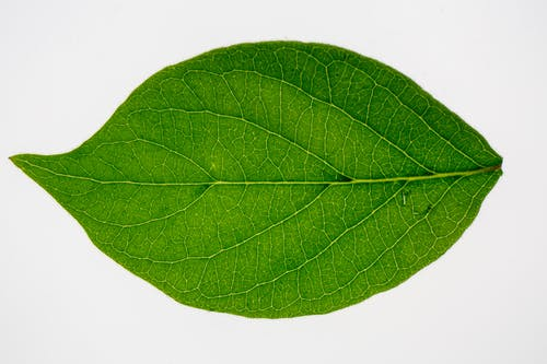 Top view underside of fresh green leaf of Lonicera maackii shrub isolated on white background