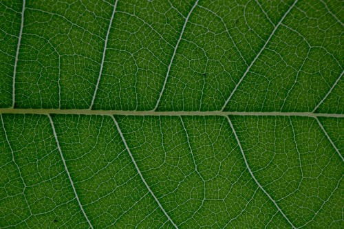 Macro of textured veins and lines of natural plant green leaf pattern as abstract background