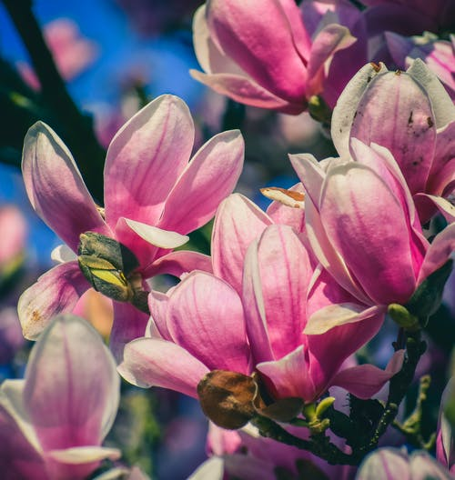 Blooming flowers on branch of magnolia liliiflora