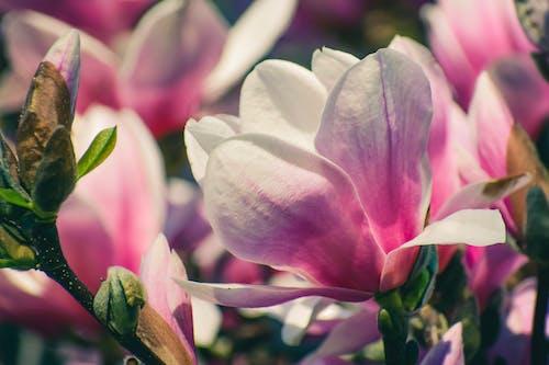 Delicate petals of fragrant flowers of magnolia growing in garden in sunny summer daytime