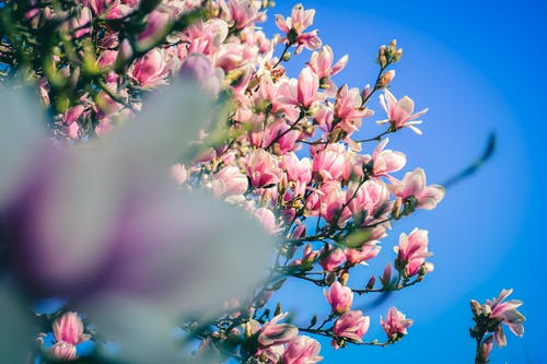 From below of lush blooming tree of magnolia with pink odorous flowers against blue sky