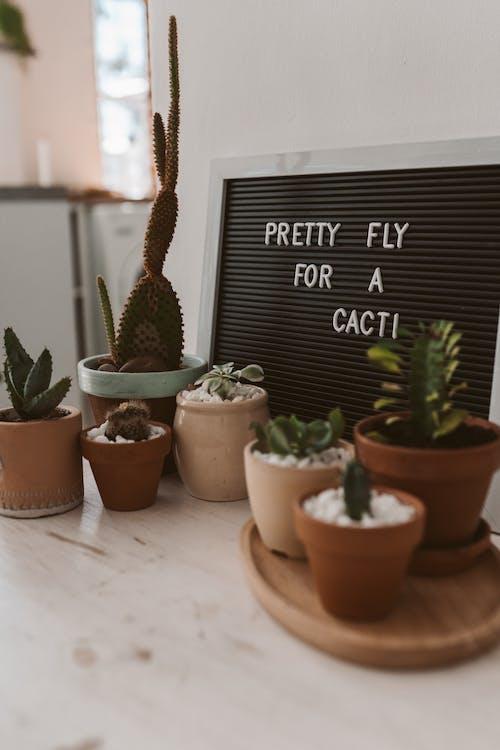 Foto d'estoc gratuïta de botànic, cactus, cassoles, concentrar-se