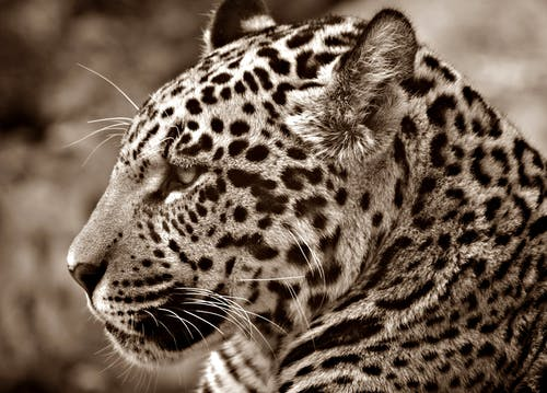 White and Black Animal
