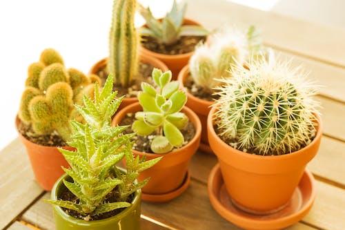 Immagine gratuita di aloe, balcone, cactus