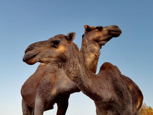 Low Angle Photo Of Camels Under Blue Sky