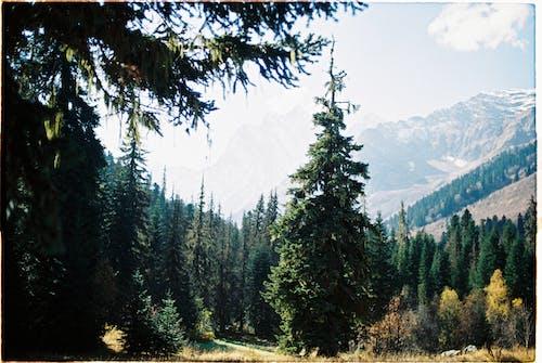 Green Pine Trees Near Mountain