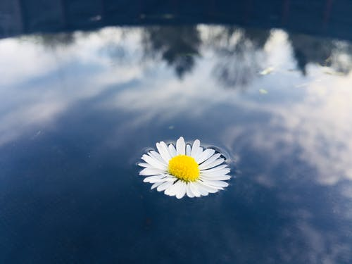 White flower of chamomile on clean water surface