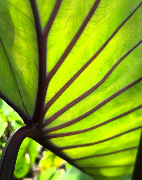 Low angle closeup of highlighted lime big green leaf of exotic plant with dark brown veins on thick stem