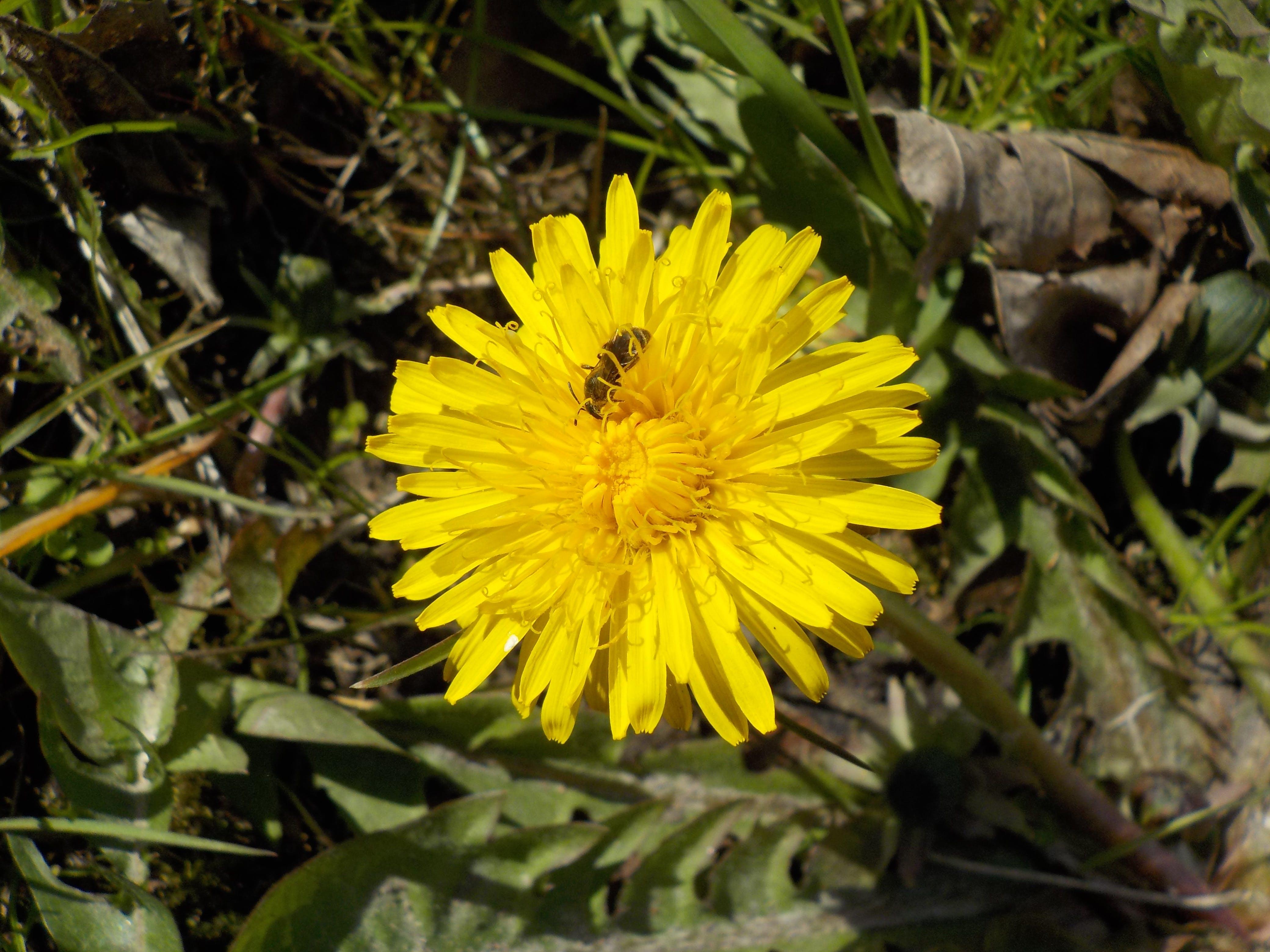 Free stock photo of bee, dandelion, flower, yellow